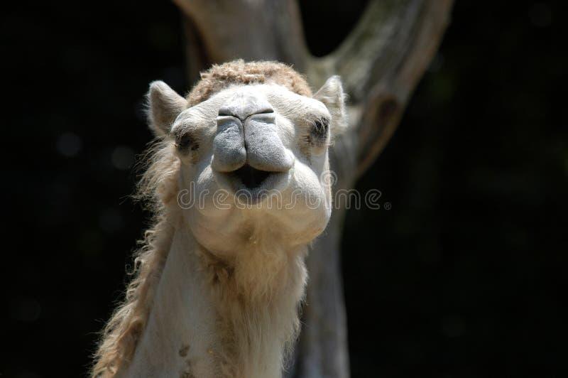 Camelo de sorriso fotografia de stock royalty free