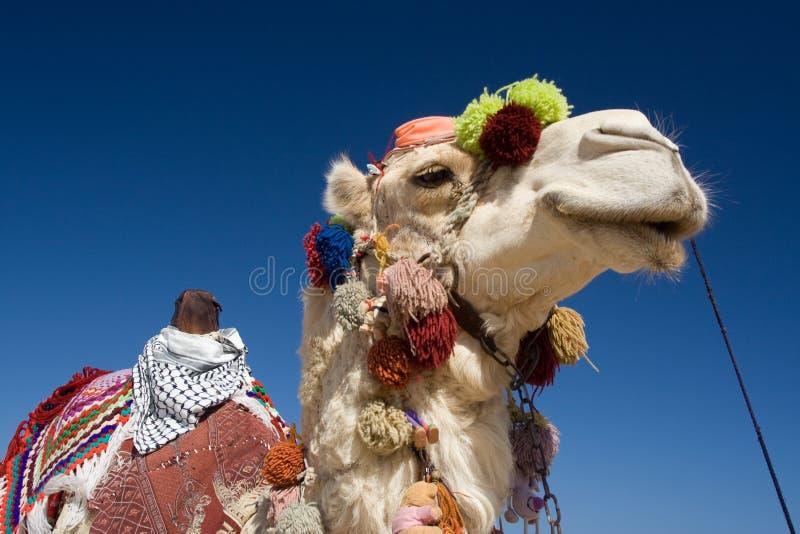 Camelo decorado em Egipto imagens de stock
