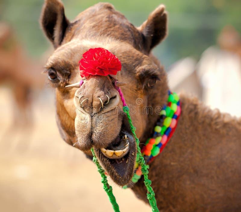 Download Camelo Decorado Na Feira De Pushkar Rajasthan, Índia Imagem de Stock - Imagem de indian, agricultural: 80101575