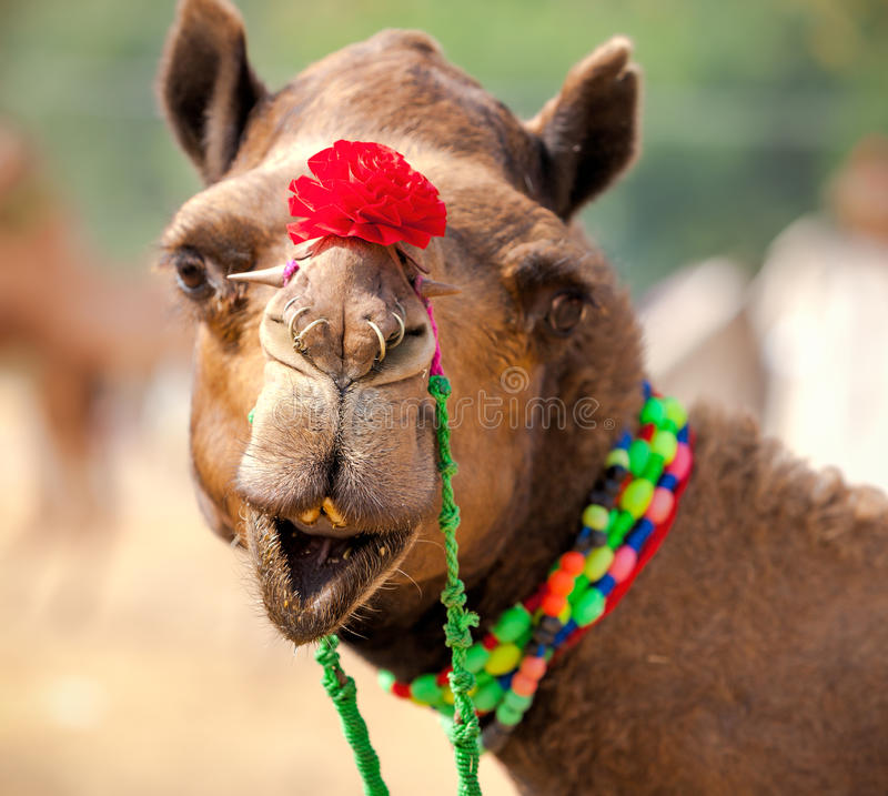 Download Camelo Decorado Na Feira De Pushkar Rajasthan, Índia Foto de Stock - Imagem de closeup, beleza: 80101872