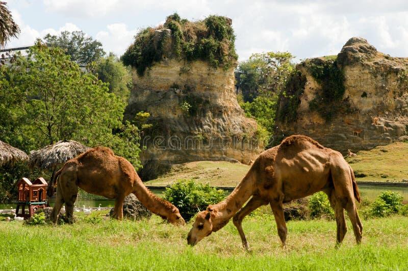 Camelo dois no jardim zoológico imagens de stock