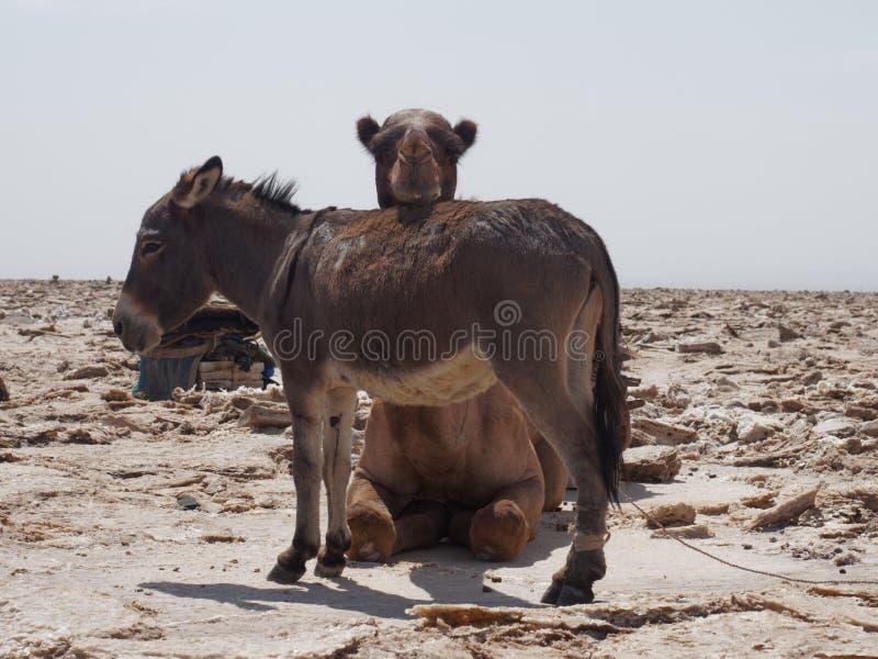 Camelo e asno no deserto fotos de stock