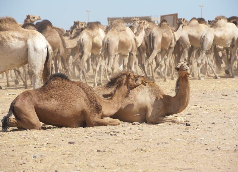 Camelo e cabra do Dromedary em um mercado imagem de stock royalty free