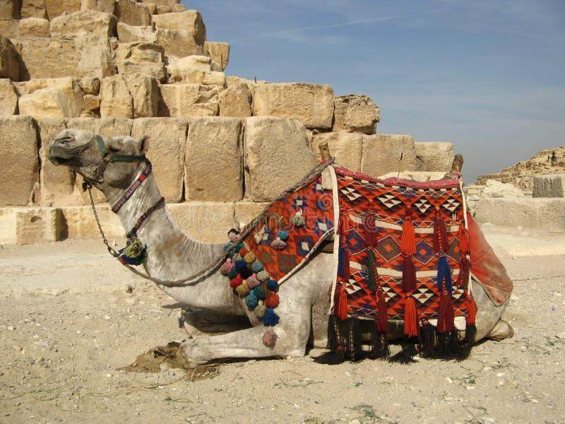 Camelo egípcio fotografia de stock royalty free