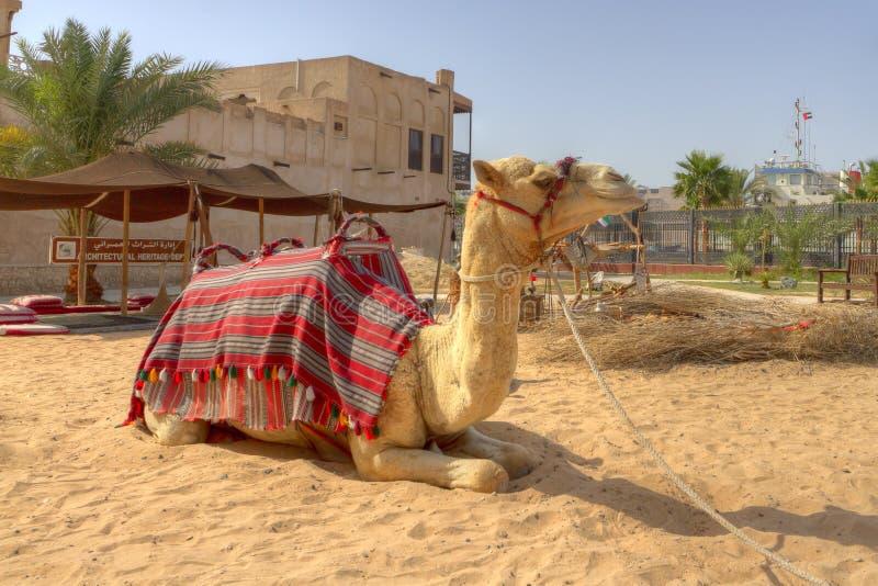 Camelo em Dubai, United Arab Emirates fotos de stock