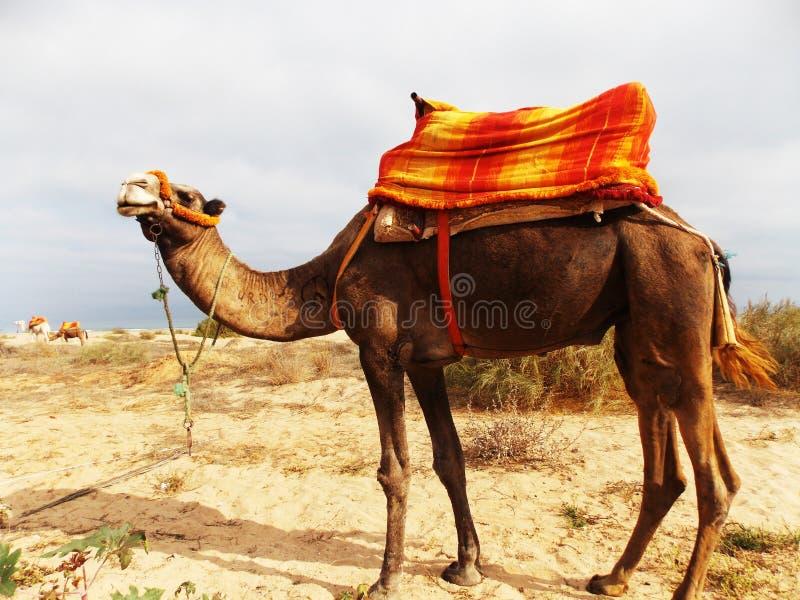 Camelo em Egipto foto de stock