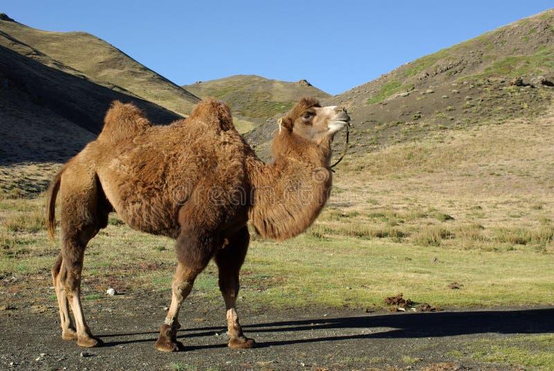 Camelo em Mongolia imagens de stock royalty free