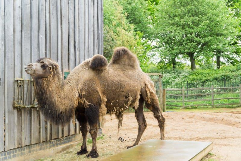 Camelo em um composto em Londres fotografia de stock