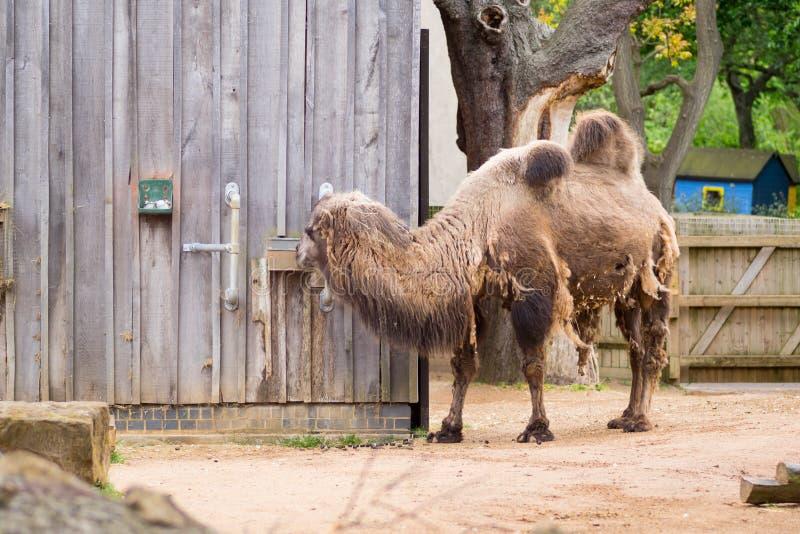 Camelo em um composto em Londres foto de stock