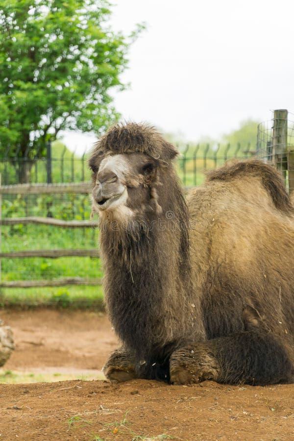 Camelo em um composto em Londres foto de stock royalty free