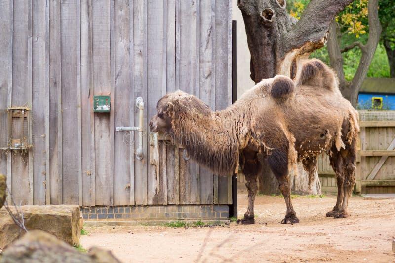 Camelo em um composto em Londres fotos de stock royalty free