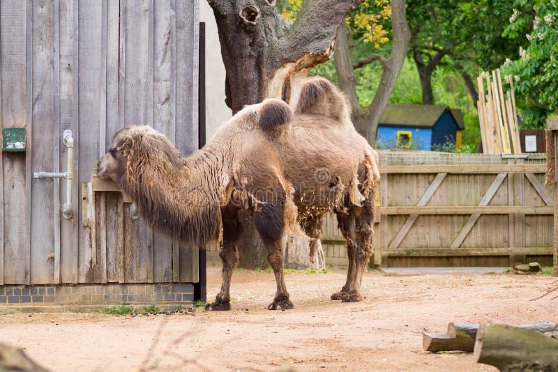 Camelo em um composto em Londres imagens de stock royalty free