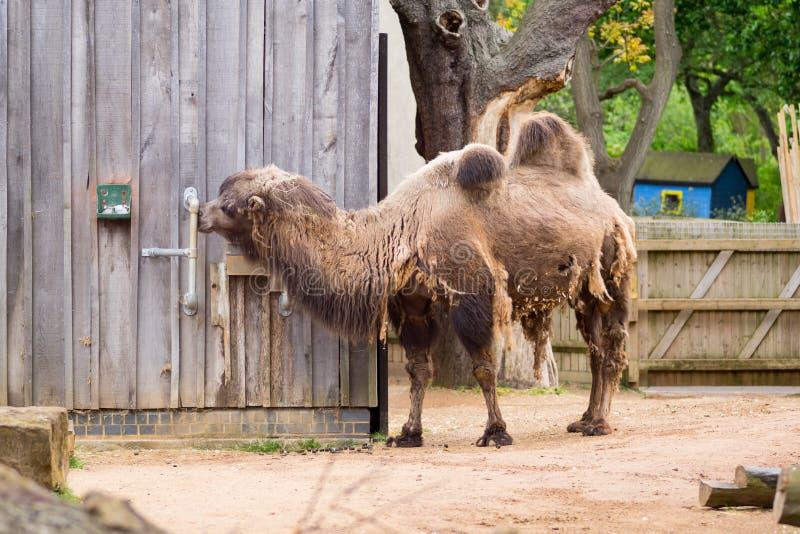 Camelo em um composto em Londres fotos de stock