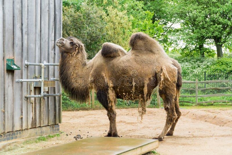 Camelo em um composto em Londres imagem de stock royalty free