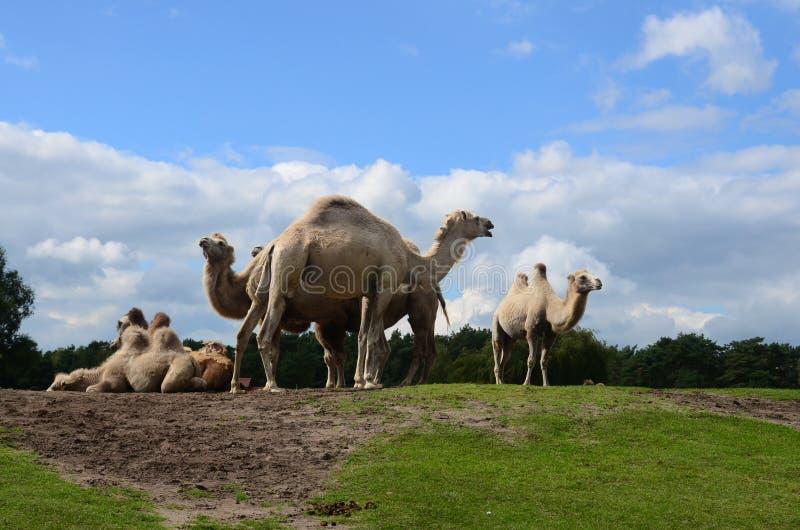 Camelo em um safari imagem de stock royalty free