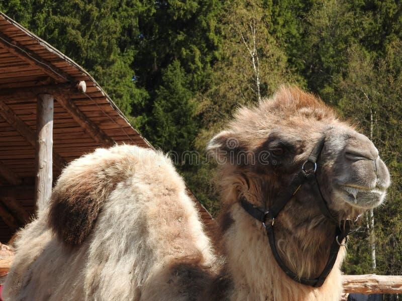 Camelo em uma exploração agrícola no parque étnico do nômadas da região de Moscou, um dia claro imagem de stock royalty free