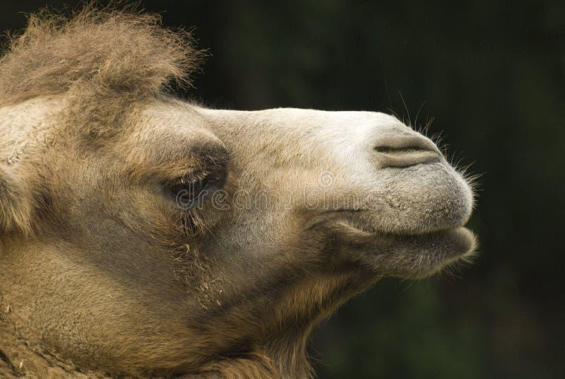 Camelo engraçado imagem de stock royalty free