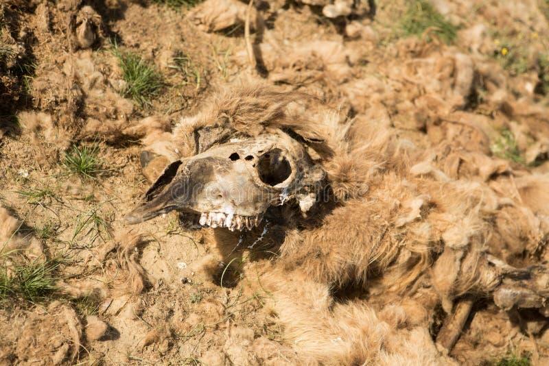 Camelo inoperante no estepe Ossos do camelo na terra fotografia de stock royalty free