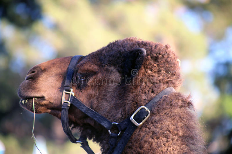Camelo Joe Has Attitude imagens de stock royalty free