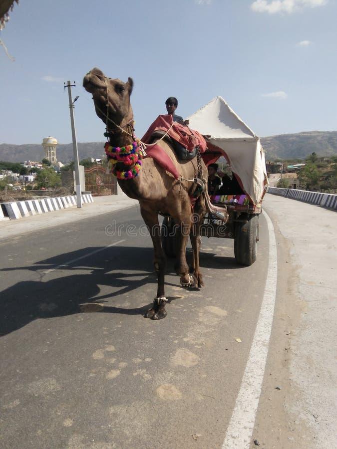 Camelo na estrada fotos de stock