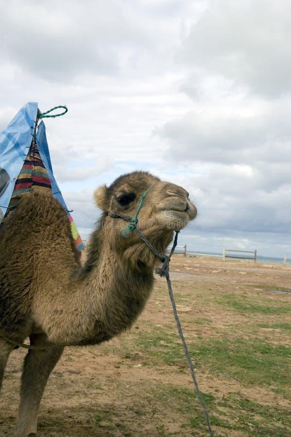 Camelo na praia da Tânger fotos de stock