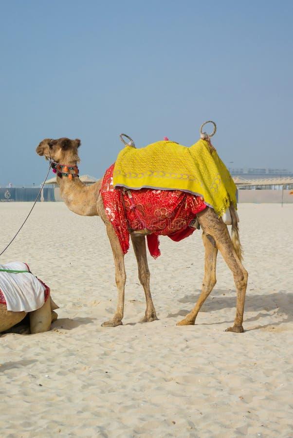 Camelo na praia de Jumeirah fotografia de stock royalty free