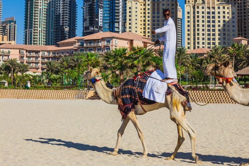 Camelo na praia de Jumeirah em Duba fotografia de stock