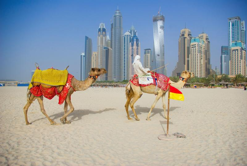 Camelo na praia em Dubai imagem de stock royalty free