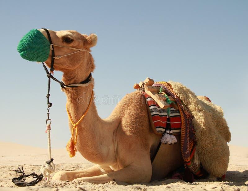 Camelo no deserto de Catar imagens de stock royalty free