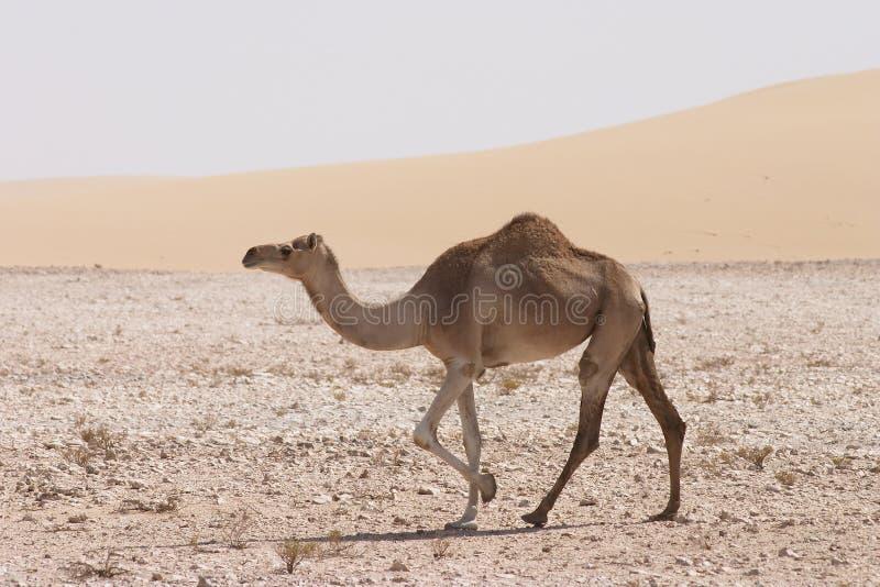 Camelo no deserto de Qatari fotografia de stock