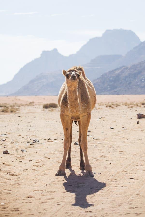 Camelo no deserto de Wadi Ram fotografia de stock