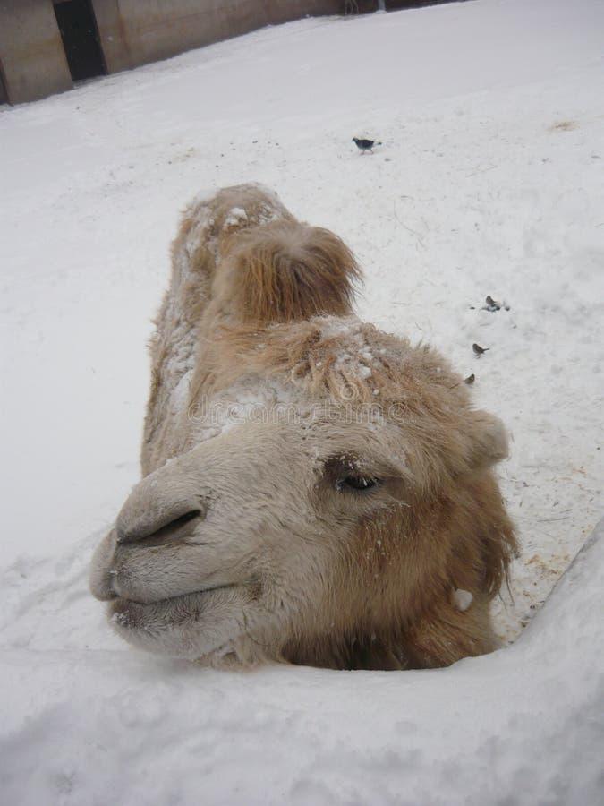 Camelo no inverno imagem de stock royalty free