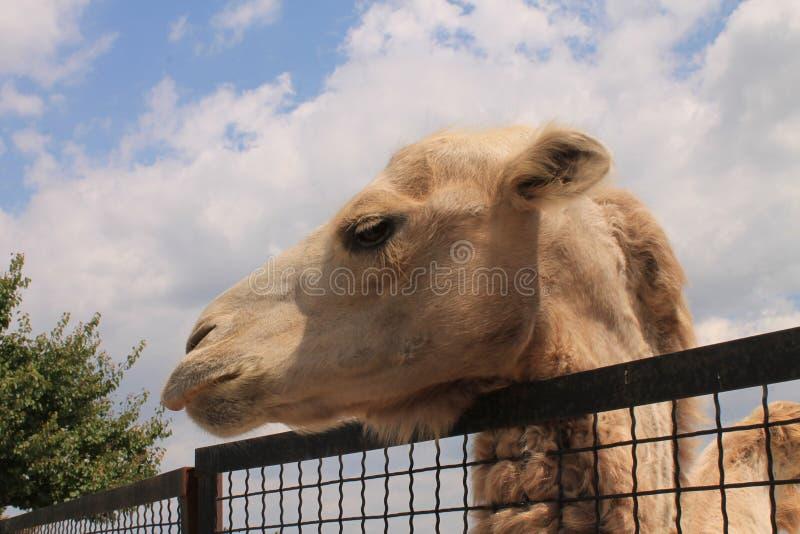Camelo no jardim zoológico fotografia de stock royalty free