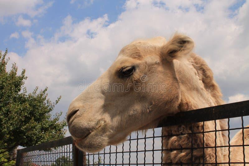 Camelo no jardim zoológico foto de stock royalty free