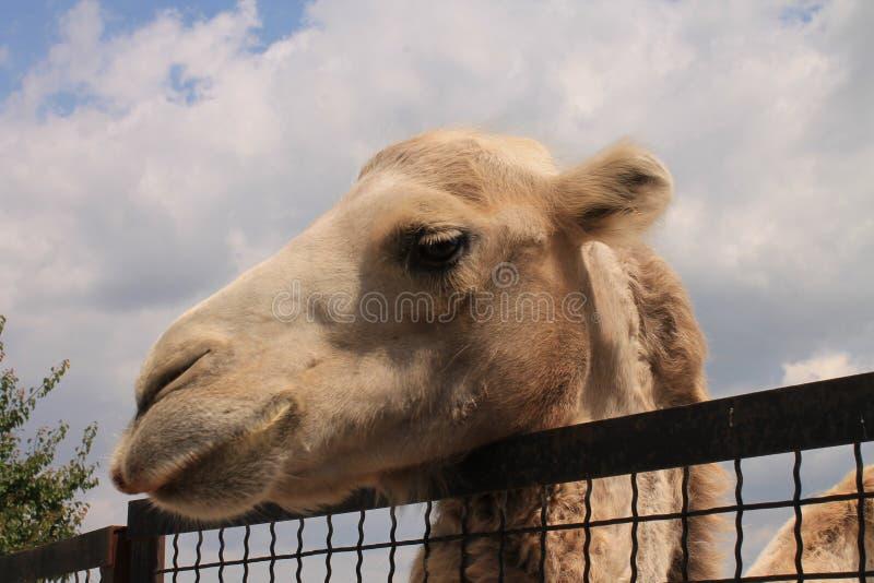 Camelo no jardim zoológico imagem de stock royalty free