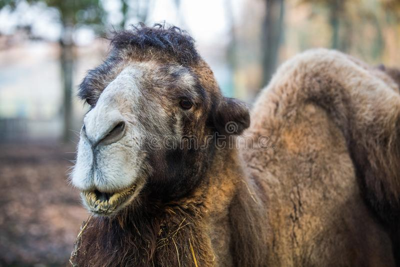 Camelo no jardim zoológico que come a grama fotografia de stock