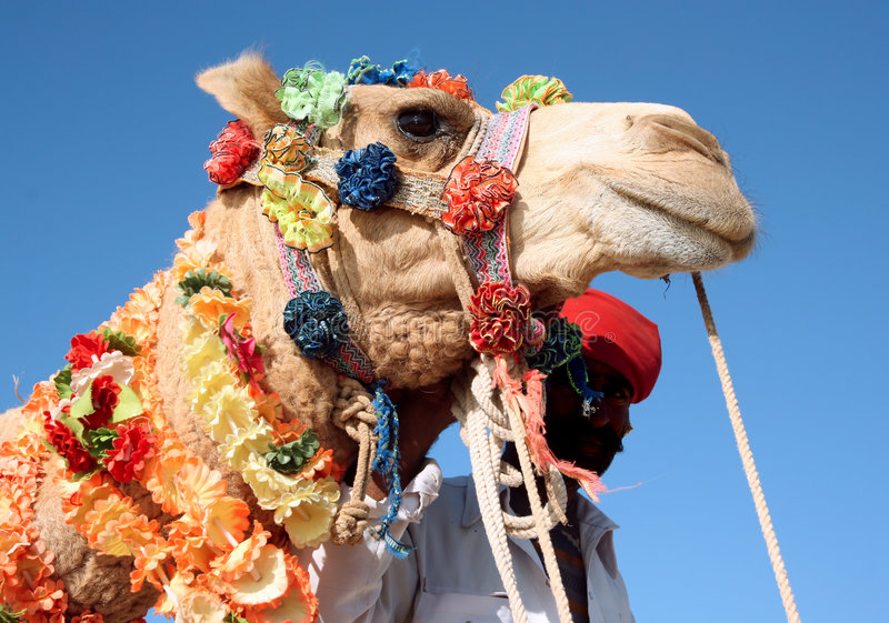 Camelo no safari fotografia de stock