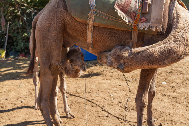 Camelo pequeno com sua mãe imagens de stock royalty free