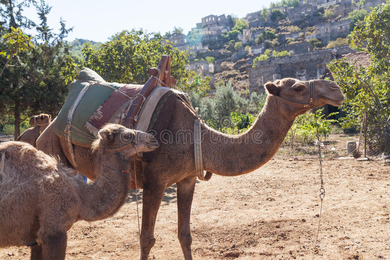 Camelo pequeno com sua mãe fotografia de stock