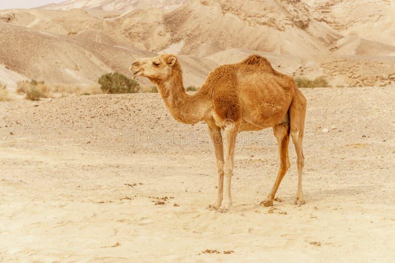 Camelo que anda através da duna selvagem do deserto Curso do safari aos wildernes secos ensolarados foto de stock royalty free