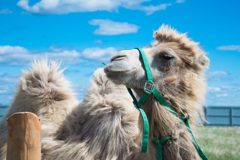Camelo que come a grama com fundo do céu azul imagens de stock