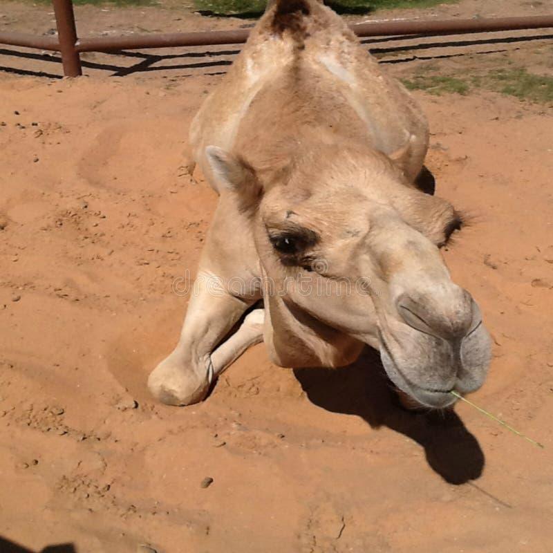 Camelo que sorri porque conhece tudo fotografia de stock