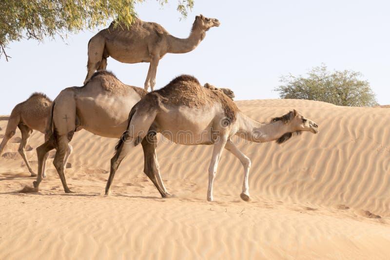 Camelo que toma um passeio do camelo foto de stock