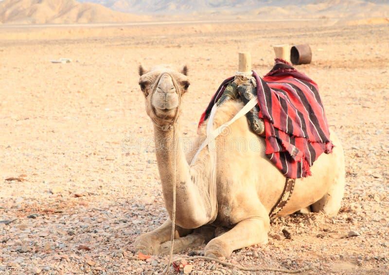 Camelo selado no deserto em Marsa Alam imagens de stock royalty free