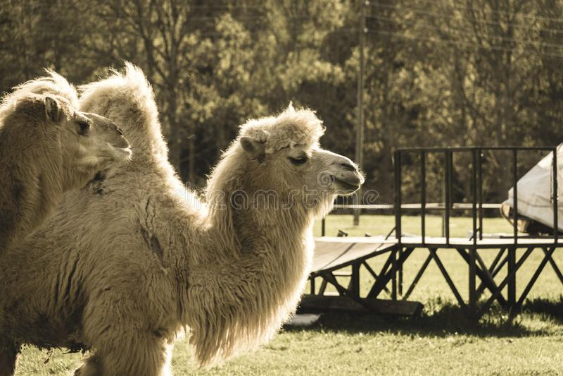 camelo selvagem no pasto e no prado verde - olhar retro do vintage fotografia de stock royalty free