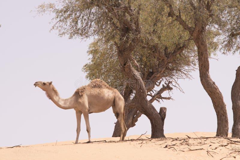 Camelo solitário fotografia de stock royalty free
