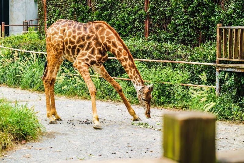 Camelopardalis de Giraffa photographie stock