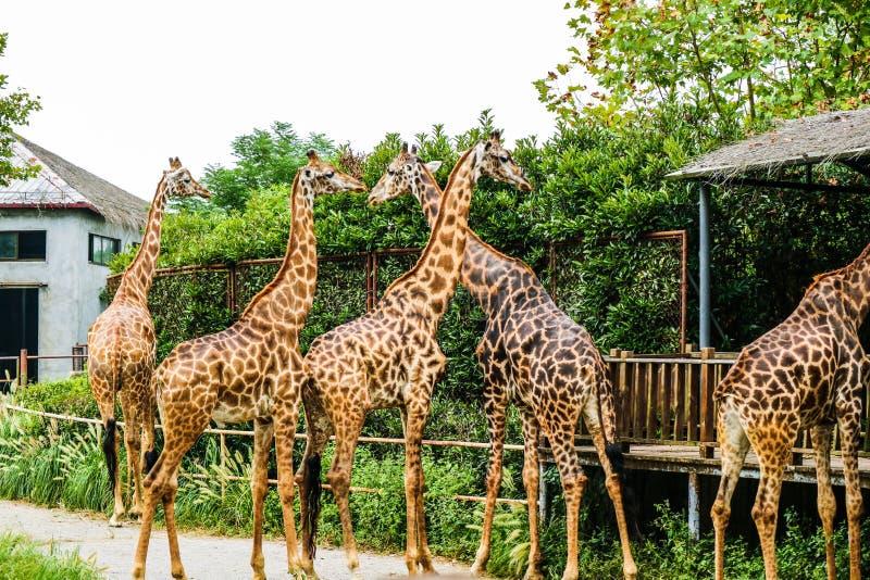 Camelopardalis de Giraffa images libres de droits