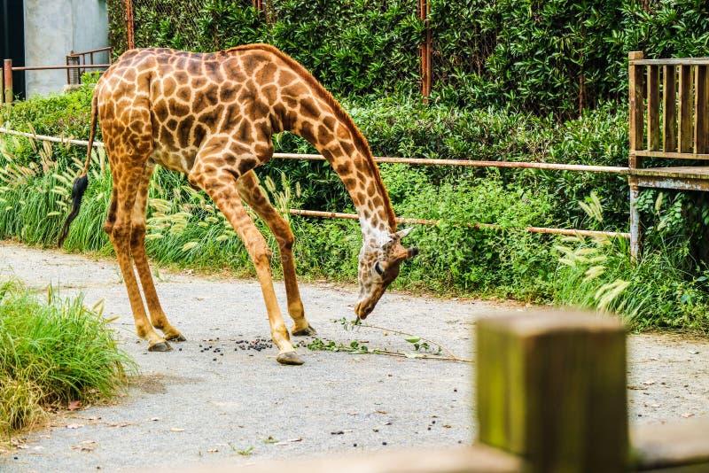 Camelopardalis de Giraffa image libre de droits