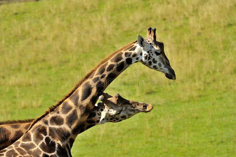 Camelopardalis de Giraffa images stock